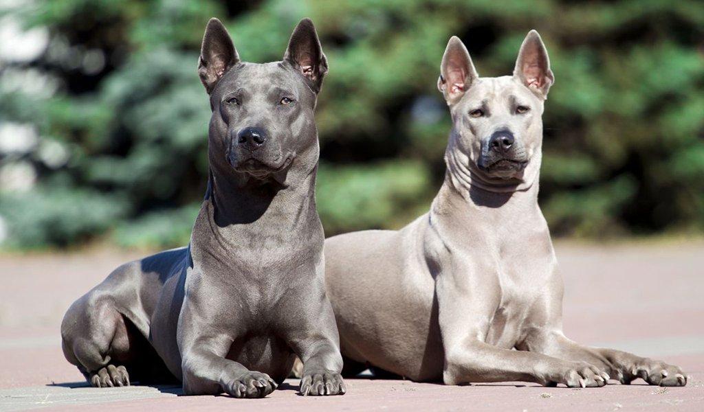 Тайский риджбек: все о собаке, фото, описание породы, характер, цена
