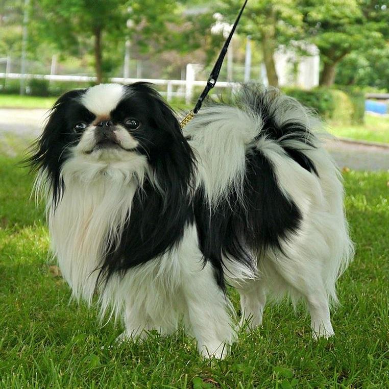 Японский хин: фото, описание породы, характер, собака, цена, щенки ...