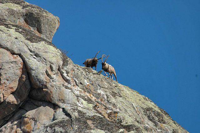 Безоаровые козлы Кавказа.
