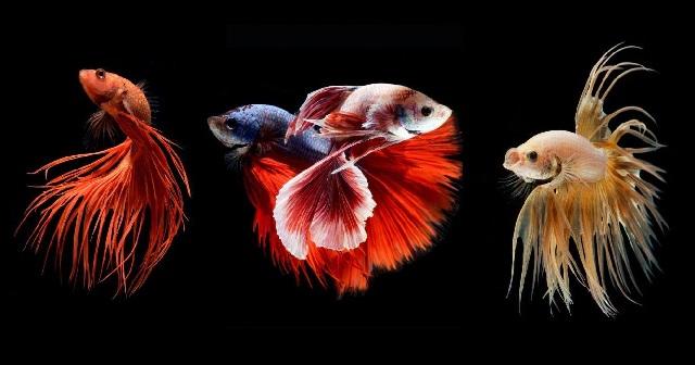 Бойцовая рыбка петушок фото.