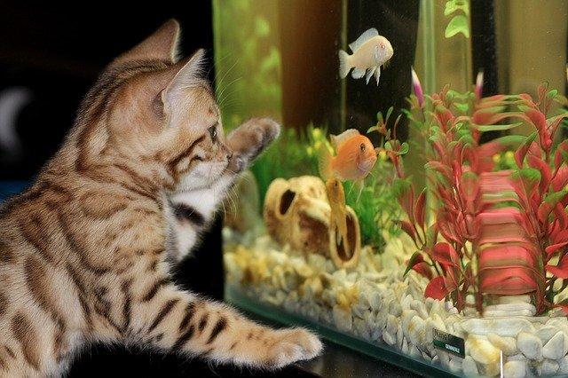 Питомцы в офисе: аквариум и бенгальский котенок.