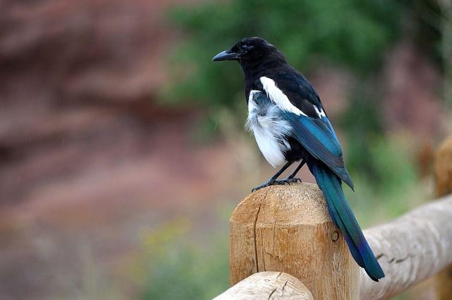 Птицы – это одно из чудес природы. Сорока.