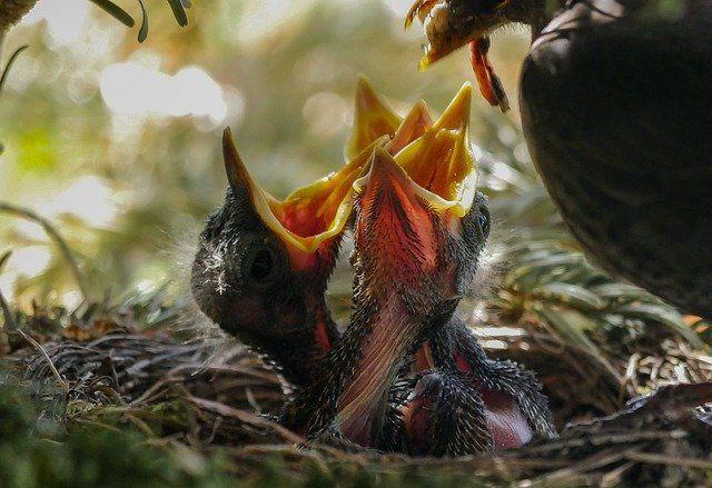 Птенцы в гнезде.