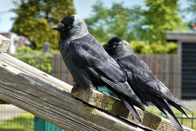 Птицы галки.