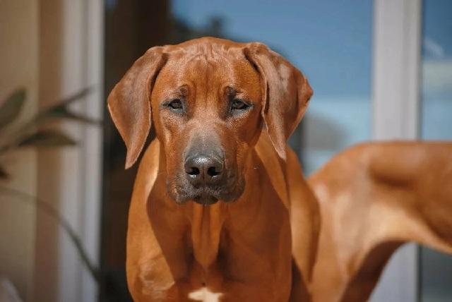 Родезийский риджбек порода собак с фото и описанием.