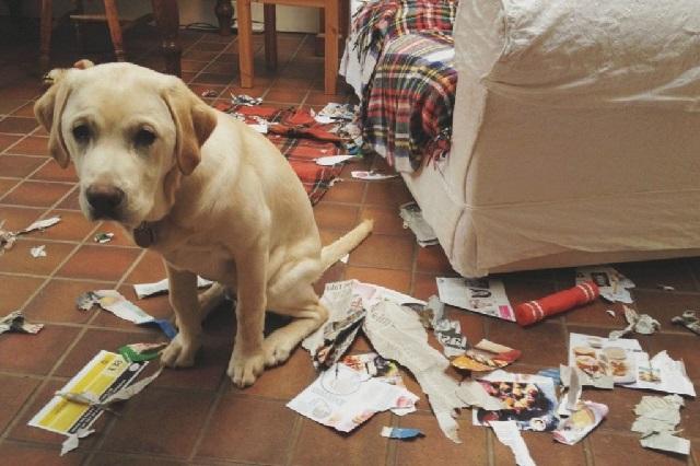 Собака одна дома скучает и портит вещи, что делать?