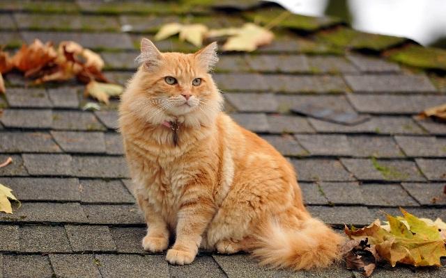 Толстый кот на крыше.