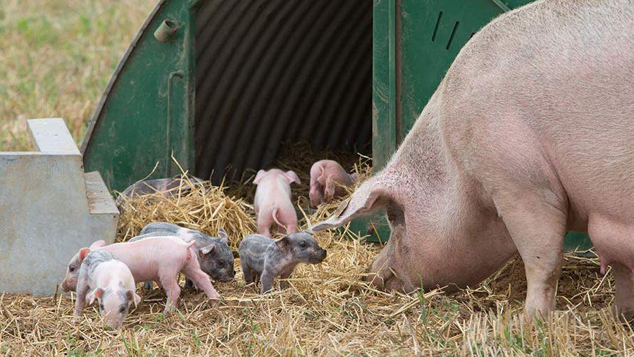 Свиноматка и молочные поросята фото.