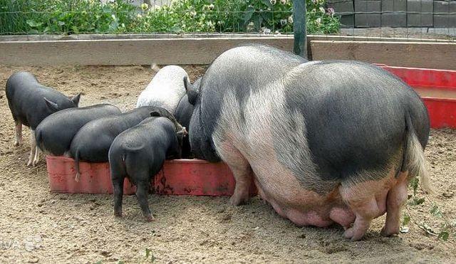 Кормление вьетнамских свиней в домашних условиях.