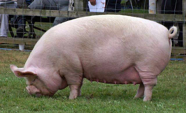 От чего зависит результат осеменения свиноматки?