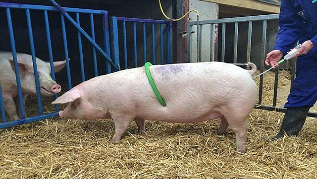 Техника искусственного осеменения свиноматки.