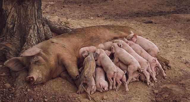 Свиноматка с поросятами фото.