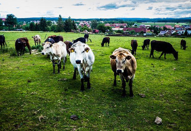Способы защиты коровы от летнего гнуса народными и аптечными средствами.
