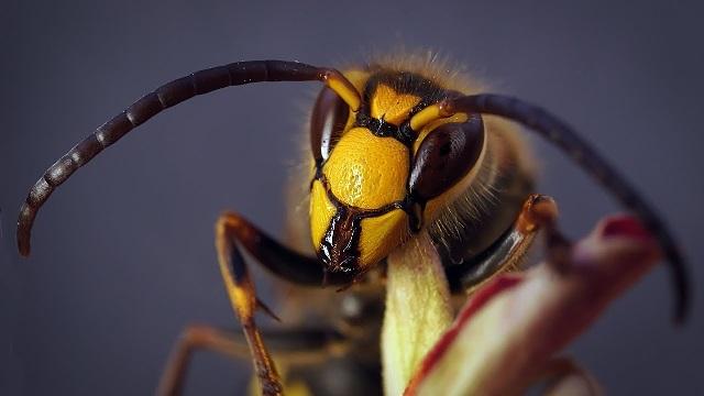 Ядовитые насекомые шершень фото.