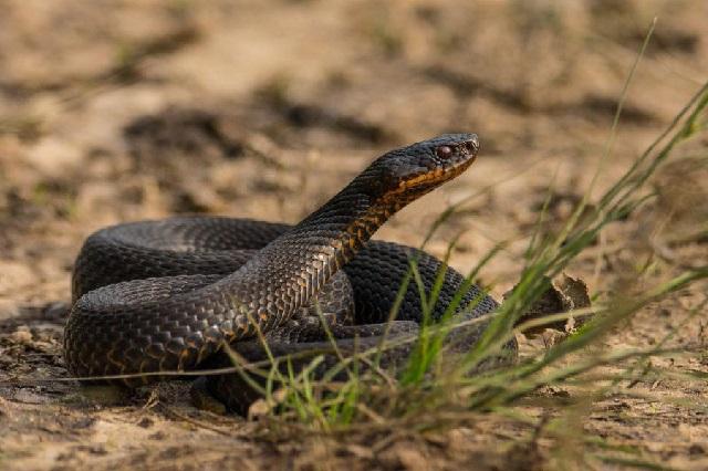 Ядовитые змеи фото.