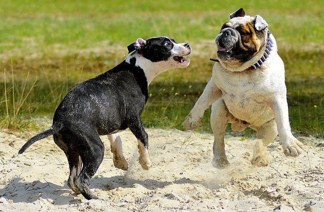 Драки собак между собой и что делать хозяевам, как разнимать.