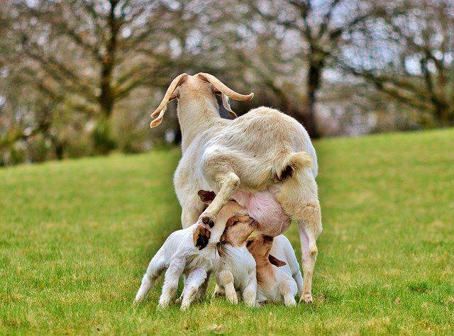 Кормление козлят с первых дней жизни в домашних условиях.