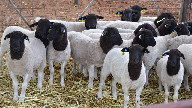 Овцы породы дорпер от А до Я в домашних условиях.