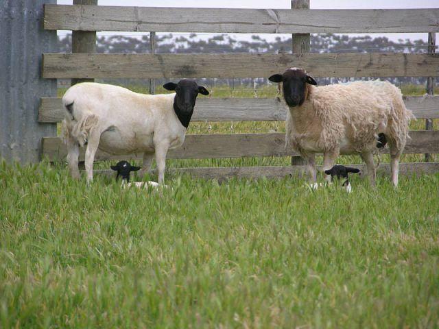 Овцы дорпер содержание и уход.