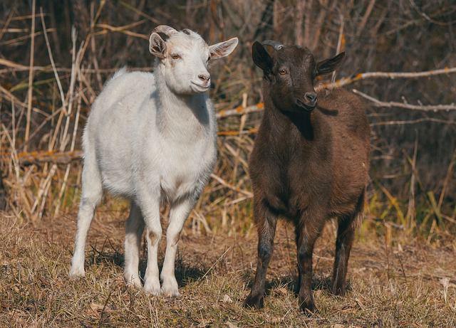 Понос у козы что делать и чем лечить в домашних условиях.