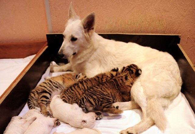 Швейцарская овчарка Талли собака нянька тигрят.