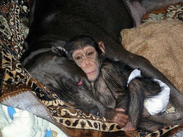 Мастиф собака нянька шимпанзе.