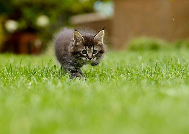 Котенок мейн-кун гуляет по травке фото.