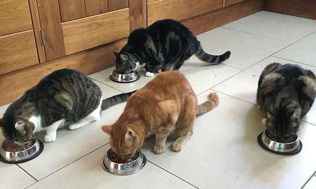 Домашнее меню кошек.