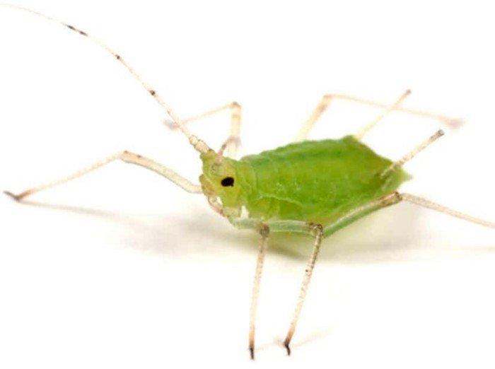 насекомые паразиты человека